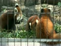 夢見ヶ崎動物公園 レッサーパンダ 母子でお食事